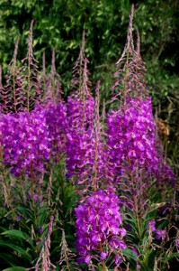Wild Fireweed - Jordon River, Vancouver Island