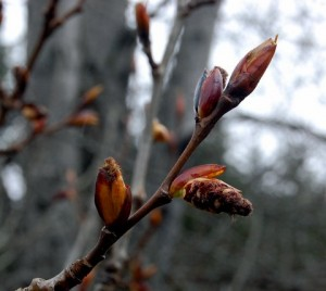 Black Cottonwood tree buds with catkins emerging