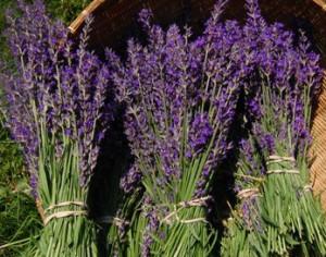 Fresh Lavender Plants