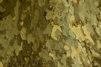 The bark of my friend the London Plane Tree